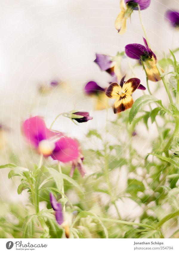 Stiefmutter Pflanze grün Blume Blatt gelb Blüte Glück Zufriedenheit Fröhlichkeit Lebensfreude violett Kitsch Blumenstrauß Blumenwiese Grünpflanze