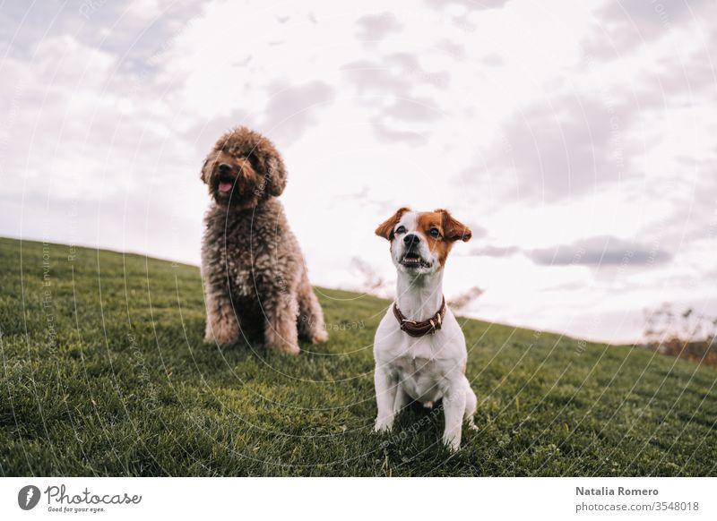 Zwei schöne Hundefreunde sind auf der Wiese. Sie schauen auf etwas, das sich vor ihnen befindet. Sie sind sehr aufmerksam und aufgeregt. Einer von ihnen hat braunes Fell und der andere hat zweifarbiges Fell.