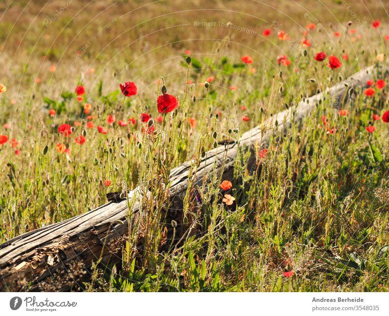 Feld mit Mohn Hintergrund schön Schönheit Blütezeit blau hell Blütenknospen Farbe farbenfroh Landschaft Energie Flora geblümt Blume Blumen frisch Garten Gras