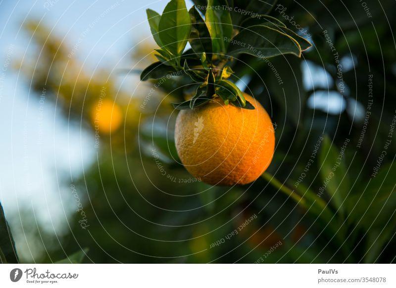 Orange am Zweig eines Orangenbaums Orangenplantage orange orangen orangenbaum orangenfrucht Zitrusfrucht reif ernte Plantage Obst Obstbau Obstgarten spanien