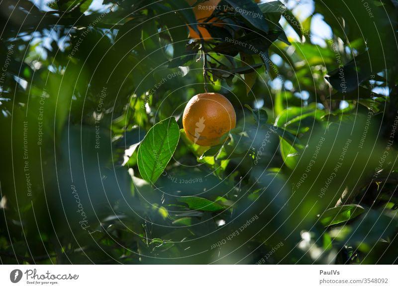 Orange am Orangenbaum in Spanien orangenbaum orangenplantage orangenernte orangensaft frucht früchte natur gesundheit vitamin blätter Natur Orangensaft Saft