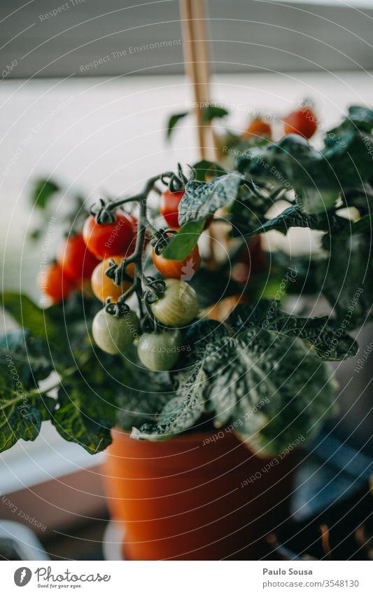Topf Tomatenpflanze mit Früchten eingetopft Pflanze Gemüse Essen zubereiten Vegetarische Ernährung Basilikum rustikal mehrfarbig Italienisch Zutaten Diät