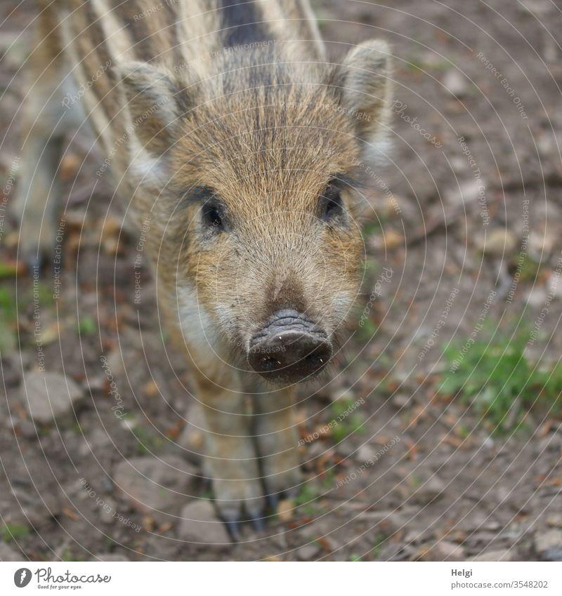 hey du - Nahaufnahme eines jungen neugierigen Frischlings, der in die Kamera schaut Wildschwein Jungtier Tier Wildtier Tierporträt Tierjunges 1 Wald Frühling