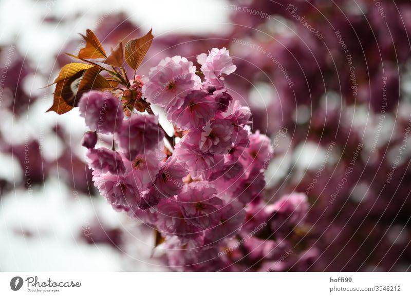 Kirschblüte nah dran Kirschblüten Blütenblätter Blütenknospen Frühling Blühend Frühlingsfarbe Frühlingsgefühle Kirsche Natur Kirschbaum rosa Blumen Zweig Ast