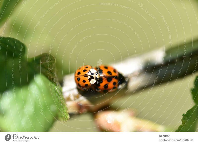 Marienkäfer Sex Paarung Frühlingsgefühle Insekt Glück kopulieren Natur Tier krabbeln grün Käfer Pflanze Sommer Blatt rot