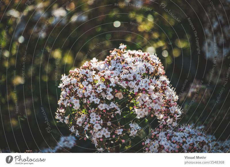 Blüten und Knospen eines Viburnum tinus Strauches Blumen botanisch Botanik Flora geblümt blumig Garten organisch Blätter natürlich Natur Park Pflanzen