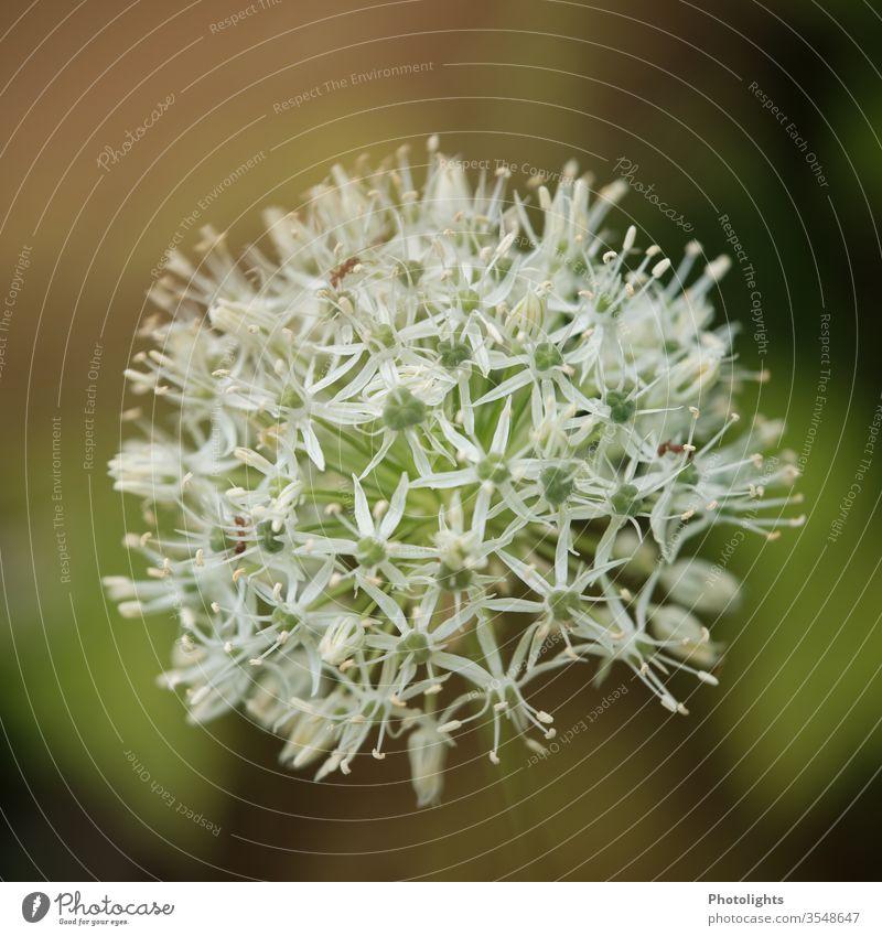 Weißer Zierlauch - Allium mit Ameise Frühling Natur Blüte grün Pflanze Außenaufnahme Farbfoto Garten Blühend Schwache Tiefenschärfe sternblüte blüten weiß