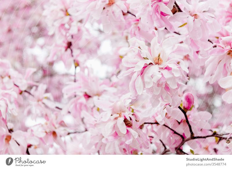 Zarte rosa Magnolienblüten Blumen Blütenblätter Frühling Blühend Blütezeit Überstrahlung Garten Gartenarbeit geblümt Flora botanisch Pastell Licht filigran