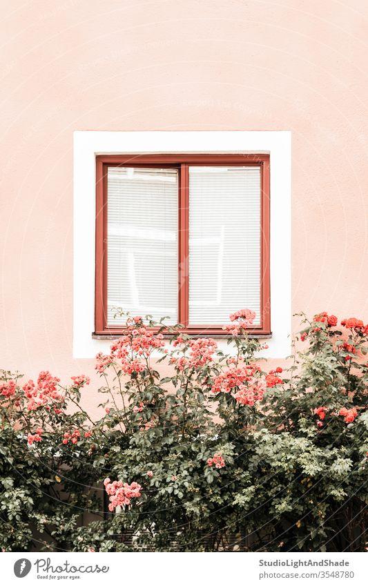 Blumen schmücken Fenster eines rosa Gebäude Rosen staubig-rosa orange grün Pastell Haus Wand Garten Gartenarbeit Cottage Flora geblümt Pflanze Überstrahlung