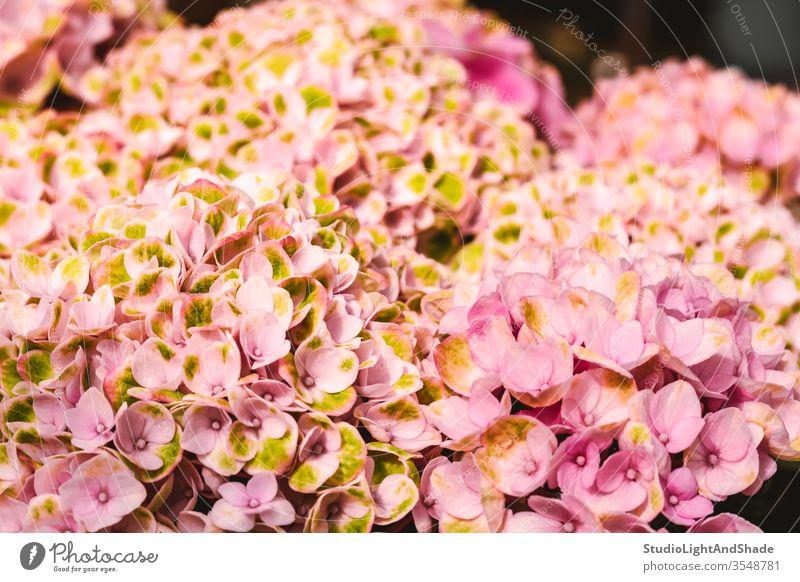 Leuchtend rosa Hortensienblüten gelb Blume Blumen Blütenblätter Garten Gartenarbeit Natur geblümt Flora Pflanze Pflanzen botanisch wachsend Hintergrund Textur