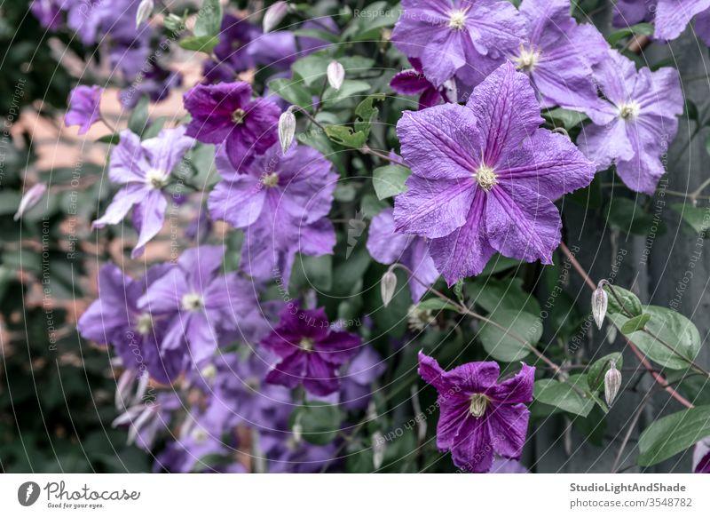 Lila Clematis Blumen Blütenblätter Garten Gartenarbeit Natur purpur grün geblümt Flora Pflanze Pflanzen wachsend Hintergrund Textur Blütezeit Überstrahlung