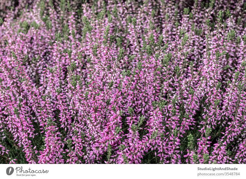 Blühendes Wildes Heidekraut wild Pflanze rosa magenta purpur Blume Blumen Flora wachsend Wald Blütezeit Überstrahlung Wildblume Wildblumen Natur natürlich