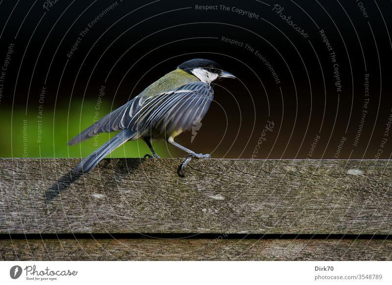 Kohlmeise beim Flügelschütteln Meise Meisen kohlmeise (parus major) Vogel Singvogel 1 Tier Flügel schütteln Tierporträt Zaun Bretterzaun Profil Farbfoto