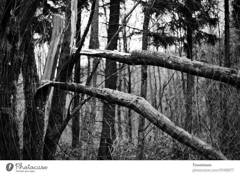 Baumbruch im Doppel Baumstamm Bruch Holz Wald Natur Außenaufnahme Umwelt düster Schwarzweißfoto
