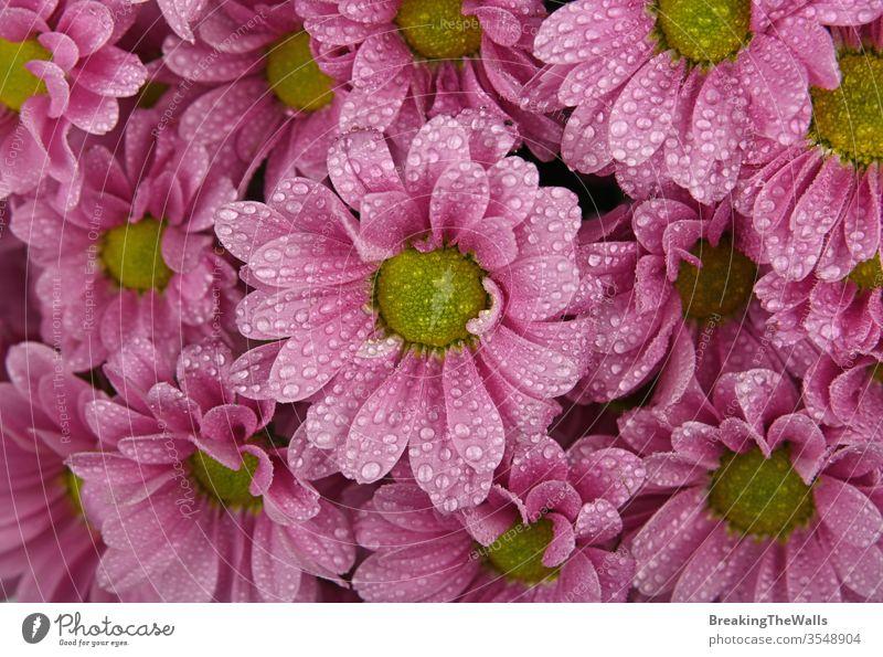 Nahaufnahme des Hintergrundmusters aus frischen rosa Chrysanthemen- oder Margeritenblüten mit Wassertropfen nach dem Regen, erhöhte Draufsicht, direkt darüber