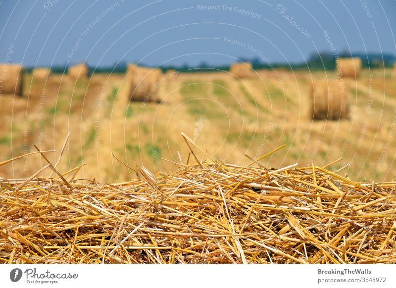 Gelb-goldene Strohballen aus Heu im Stoppelfeld nach der Erntesaison in der Landwirtschaft, selektiver Fokus Ballen Feld Weizen Bartstoppel Ackerbau kultiviert