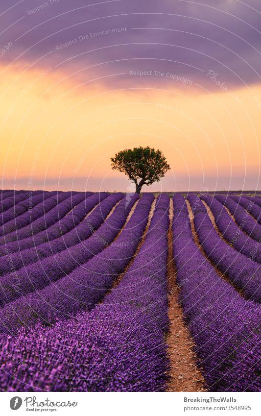 Violett blühendes Lavendelfeld der Provence, Frankreich, bei Sonnenuntergang mit wunderschönem Landschaftshimmel und Baum am Horizont Feld Überstrahlung Blüte