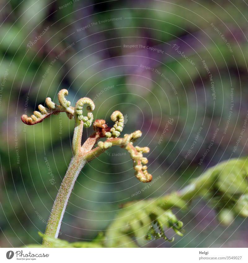 Nahaufnahme von jungen Farnblättern, die sich auseinander rollen Farnblatt Pflanze Blatt Grünpflanze Natur Umwelt Detailaufnahme Wald Menschenleer Tag