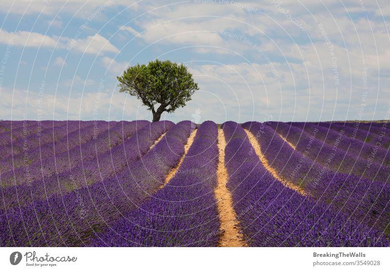 Violett blühendes Lavendelfeld der Provence, Frankreich, tagsüber mit wunderschönem landschaftlichen Himmel und Baum am Horizont Feld Überstrahlung Blüte purpur