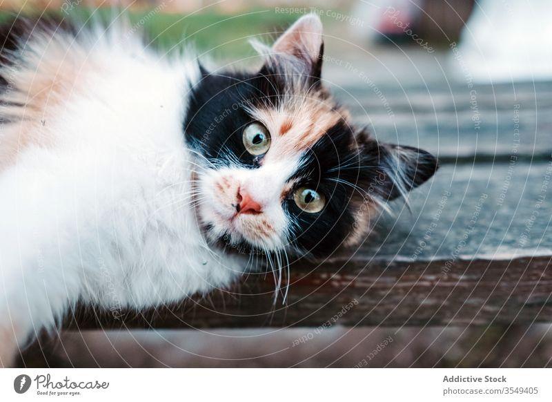 Dreifarbige Katze auf Holzbank liegend LAZY Straße Bank lokal sich[Akk] entspannen Dehnung dreifarbig klug Fell niedlich gemütlich Windstille friedlich