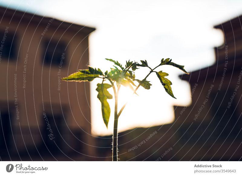 Grüne Zweige einer wachsenden Tomate im Garten Pflanze grün sonnig Himmel Keimling Wachstum Flora organisch Botanik Frühling Saison Ackerbau vegetieren Blatt