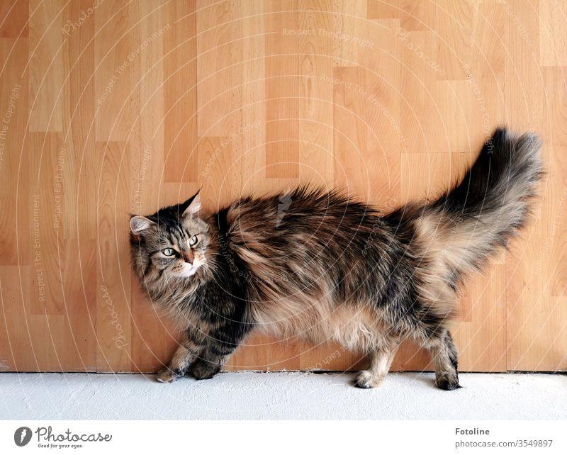 Maine Coon Katze, die auf dem Laminatboden faulenzt Fell Rassekatze Langhaarige Katze Haustiere katzenhaft fluffig weiß braun rotbraun dreifarbig Ein Tier Natur
