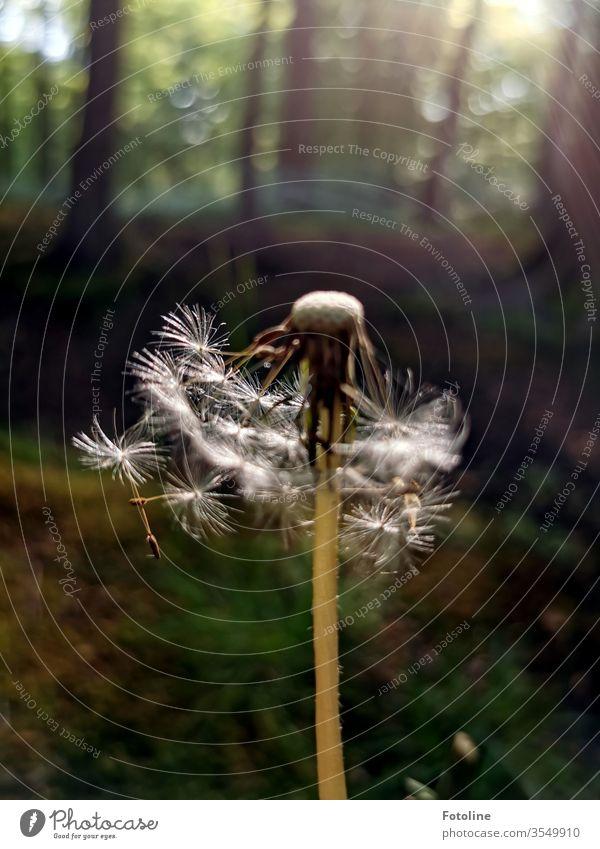 Vom Winde verweht - oder eine Pusteblume im Wald, die vom Wind schon etwas zerzaust wurde Natur Löwenzahn Pflanze Blume Farbfoto Frühling Außenaufnahme