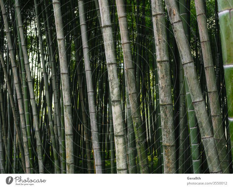 Muster Hintergrund grüner Bambuswald in einem Park in Georgien Asien Bambus-Hintergrund Bambus-Muster hell farbig Wald frisch Garten Japan Dschungel Landschaft
