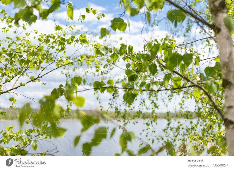 Birkenzweige birkenblätter birkenzweige grün ast äste baum natur landschaft nahaufnahme grün frühlling sommer frische treibe borke rinde baumstamm weiß himmel