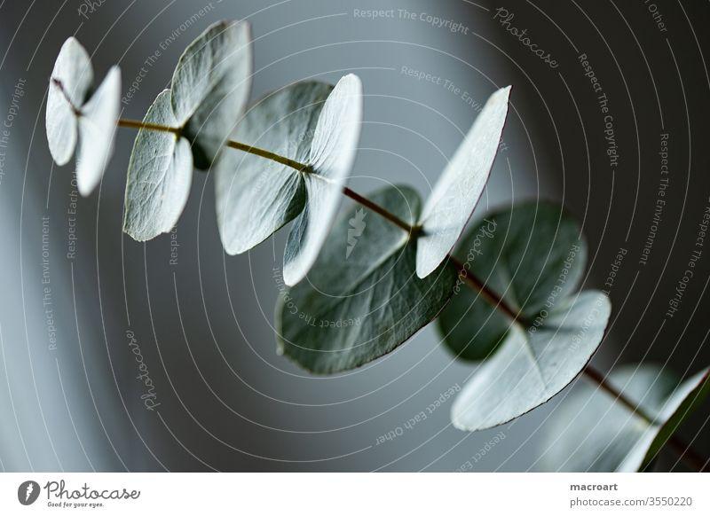 Eukalyptus-Tapete eukalyptuszweig Eukalyptuszweig pflanze geblümt pflannzlich Grün Blatt Blätter ast blau orange Nahaufnahme wallpeper modern Strauch Dekoration