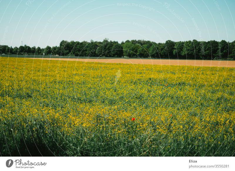 Ein Rapsfeld mit einzelnen Mohnblumen und Wald im Hintergrund Natur Feld Sommer Klatschmohn frühling gelb Blühend Landschaft Nutzpflanze Blüte Himmel Tag