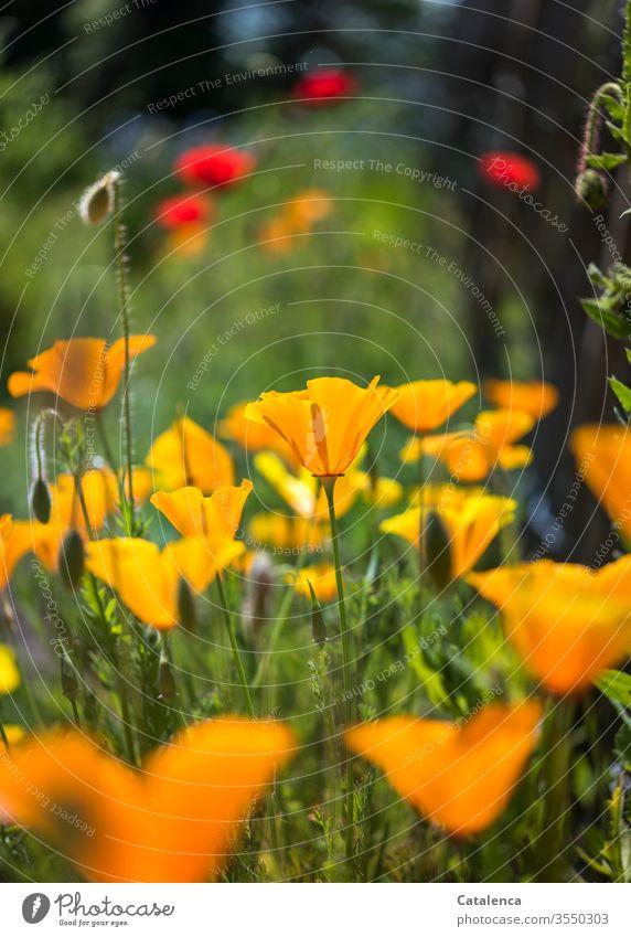 Und noch viel mehr leuchtender, gelb und rot blühender Mohn Flora Pflanze Blume Blüte Mohnblüte Natur grün Sommer Umwelt schönes Wetter verblühen farbenfroh