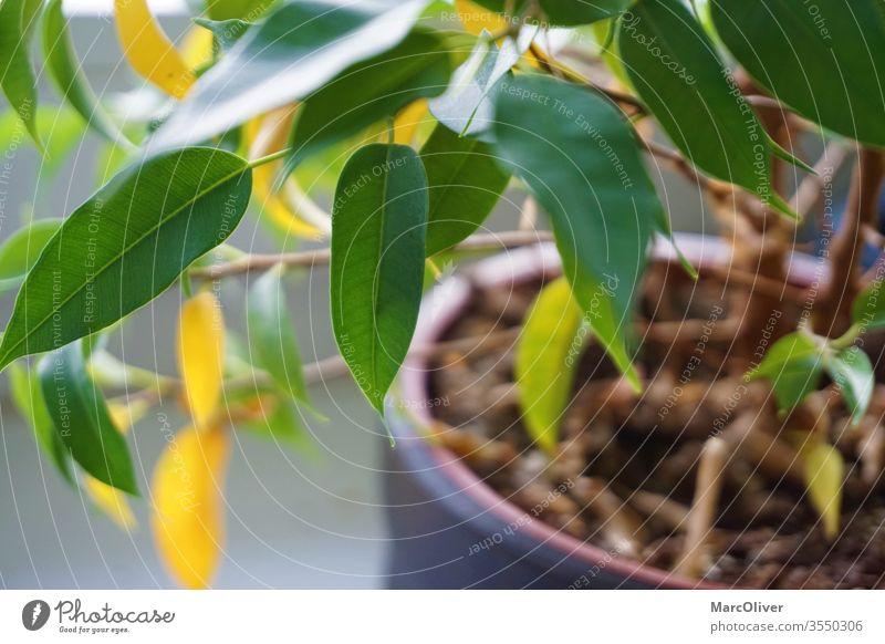 Zimmerpflanze mit gelben Blättern aufgrund von Nährstoffmangel Nährstoffmangel bei Pflanzen Pflanzennährstoff-Mangel gelbe Blätter grün flockig segregiert