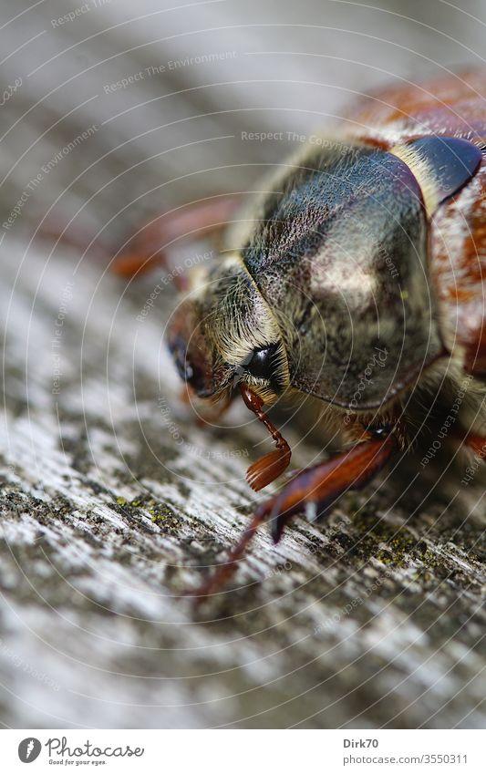 Porträt eines Maikäfers Makroaufnahme makro makrofotografie Nahaufnahme detail Detailaufnahme Tierporträt 1 Tier Wildtier Farbfoto Außenaufnahme Tag