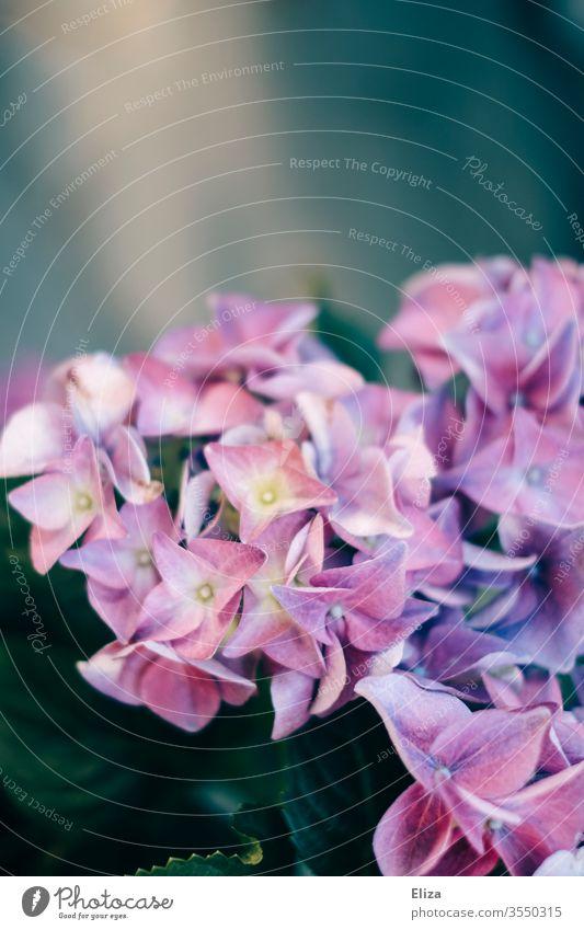Schöne blühende lila Blüten einer Hortensie im Garten Blumen Botanik Floral unscharf Frühling Natur Pflanze schön Blühend Außenaufnahme Schwache Tiefenschärfe