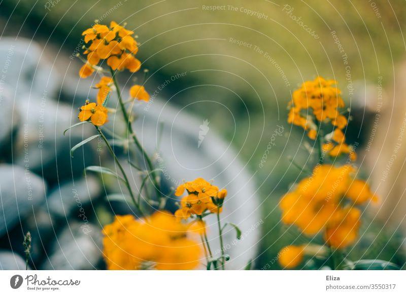 Orangene Blümchen (deren Namen ich nicht weiß) im Garten Blumen orange Bunt hübsch Unschärfe Blühend Natur Blüte Sommer Frühling Pflanze Menschenleer grün schön