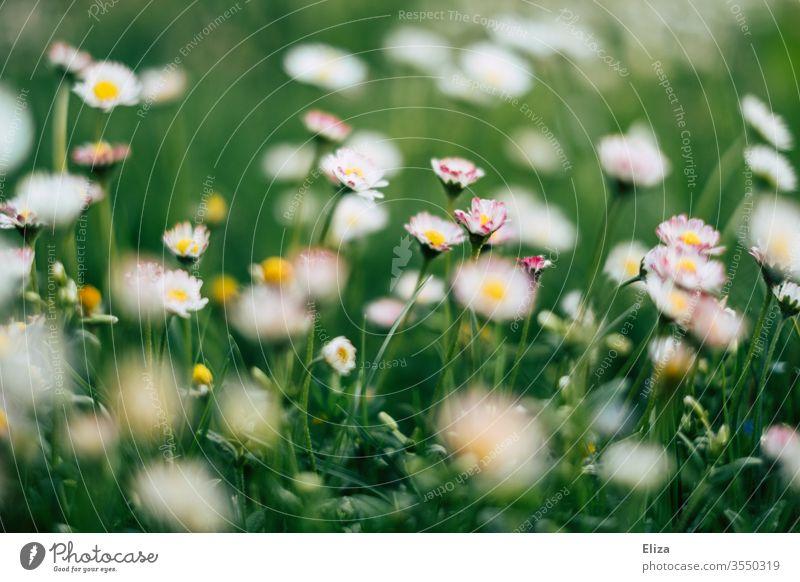 Eine grüne Blumenwiese im Frühling mit vielen Gänseblümchen Wiese Gras Sommer sommerlich Blühend Garten Wiesenblume Natur Pflanze Sonne frühlingswiese nah