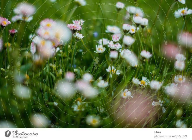 Eine grüne Blumenwiese im Sonmer mit vielen Gänseblümchen Wiese Gras Sommer Frühling sommerlich Blühend Garten Wiesenblume Natur Pflanze Sonne frühlingswiese