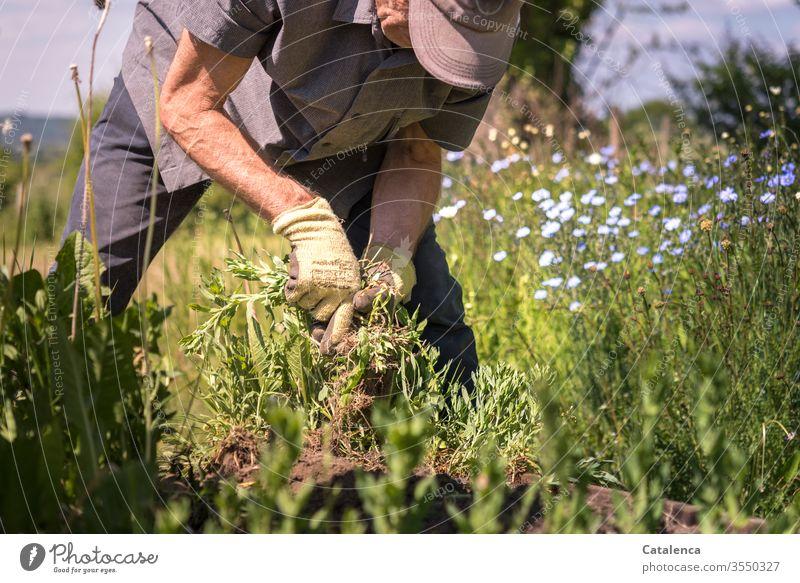 Das Unkraujäten geht weiter Unkraut jäten Jäten Sommer grün Natur Erde Wachstum Pflanze Hand Garten Gartenarbeit Gärtner Erwachsene Mann Mensch Gartenhandschuhe