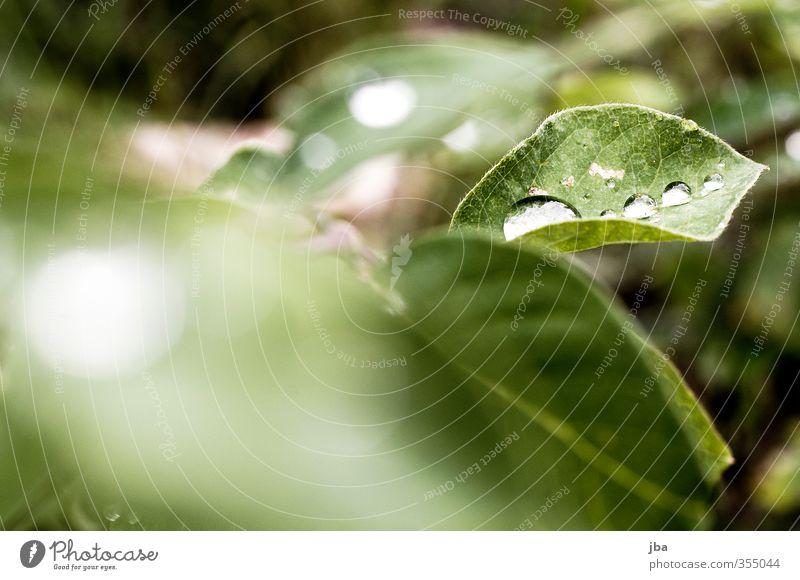 Tautropf III Natur Pflanze Wasser Wassertropfen Sommer Sträucher Blatt Grünpflanze natürlich grün verdeckt trüb frisch mehrere Farbfoto Außenaufnahme