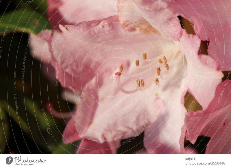 rosa Rhododendronblüte im Licht Blüte Pflanze Farbfoto Außenaufnahme Natur Makroaufnahme Blume Nahaufnahme Blütenstempel Blütenkelch Griffel Blütenblatt schön