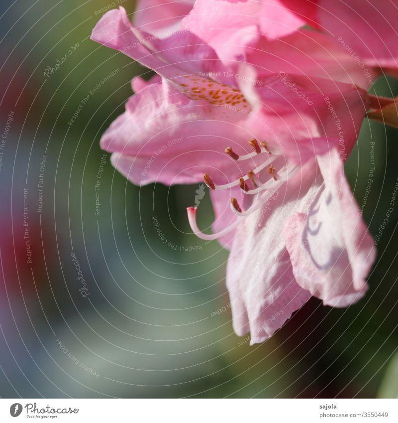 rosa Rhododendronblüte Rhododendronblüten rosa Blume Blüte Blütenstempel Blütenkelch Blütenblätter Blütengriffel Farbfoto Makroaufnahme Nahaufnahme Natur