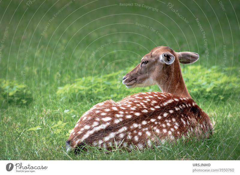 ein geflecktes Rehkitz liegt wachsam im Gras Bambi Kitz jung Jungtier Tier Wildtier Tierjunges menschenleer Capreolus capreolus reglos liegen