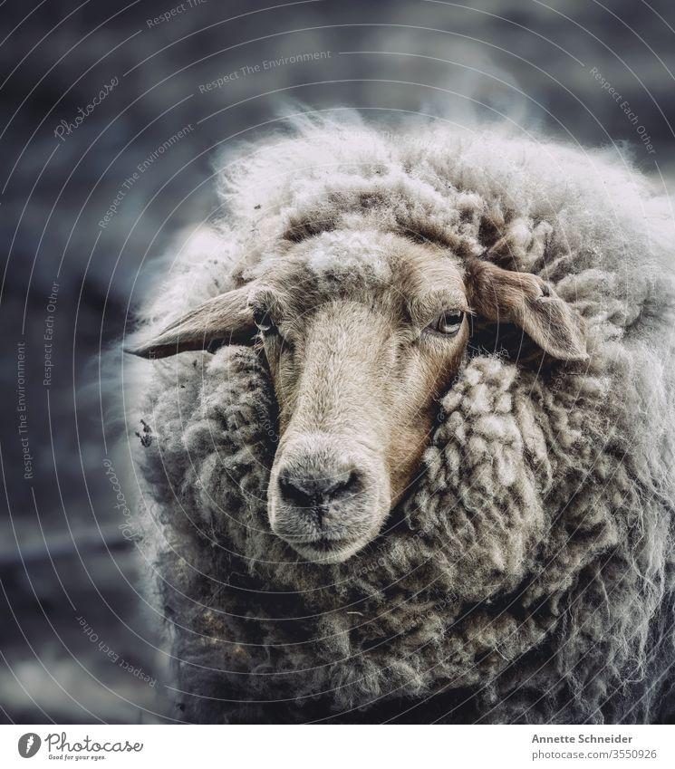 Schaf Tier Haustier Nutztier 1 braun weiß Farbfoto Gedeckte Farben Außenaufnahme Freisteller Blick in die Kamera