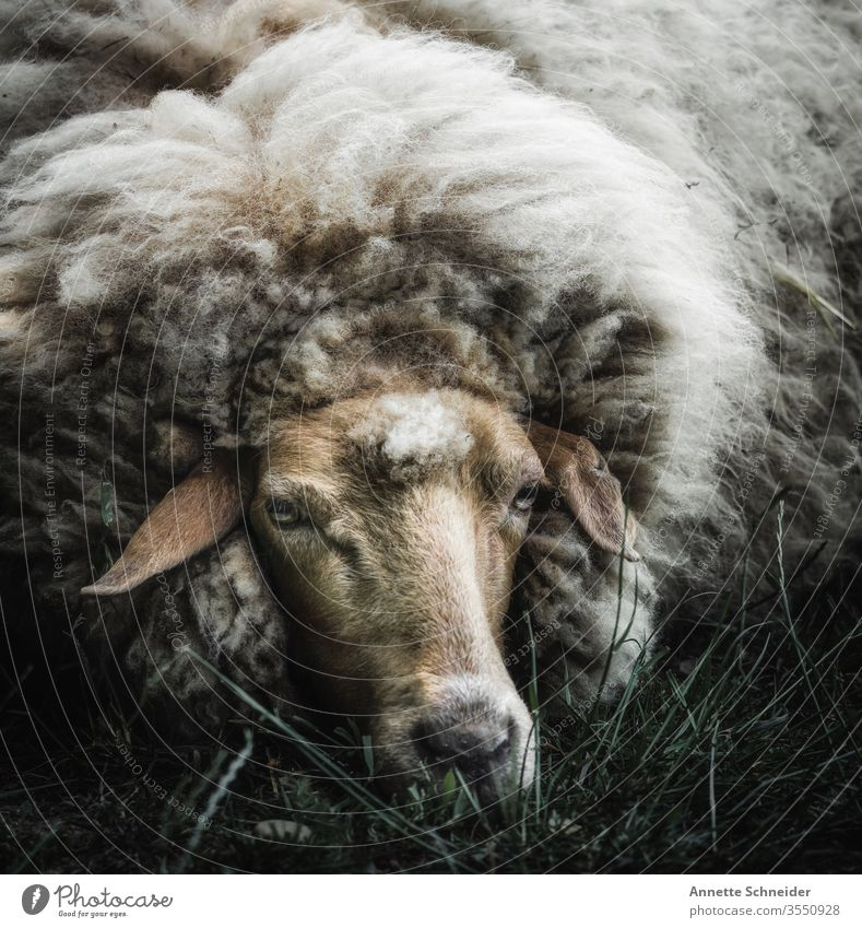 Schaf Blick in die Kamera Freisteller Außenaufnahme Gedeckte Farben Farbfoto weiß braun 1 Nutztier Haustier Tier