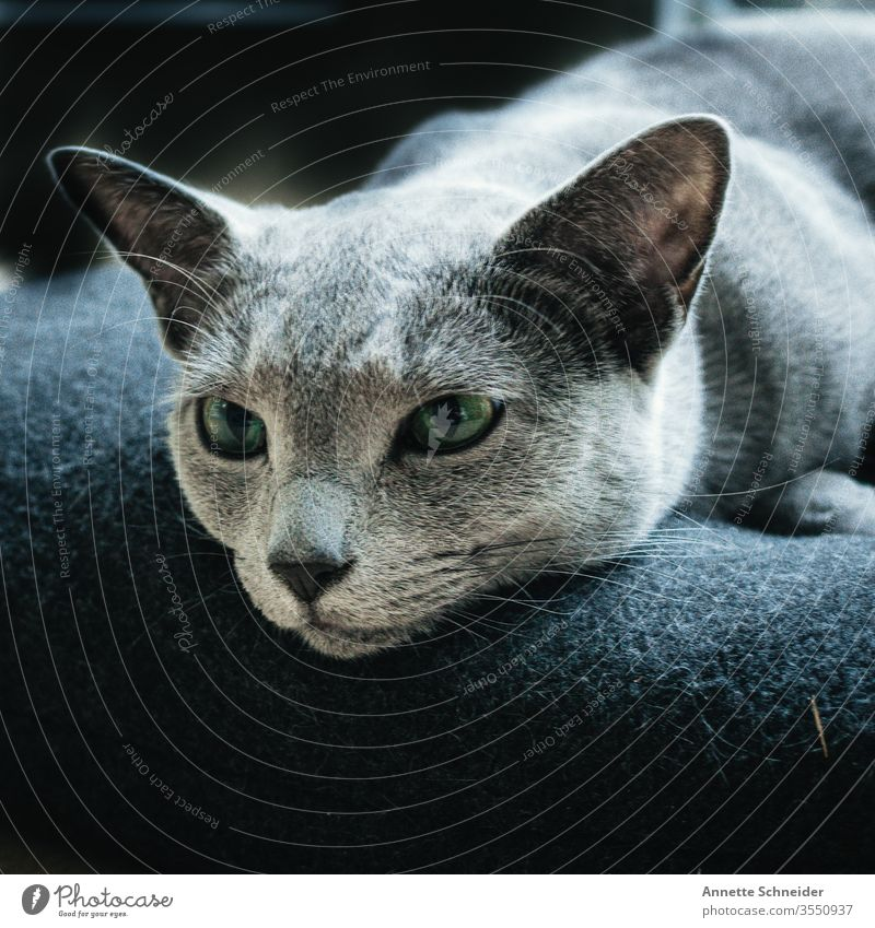 CAT Russisch blau Blick in die Kamera Tierporträt Hintergrund neutral ästhetisch Katze Haustier elegant