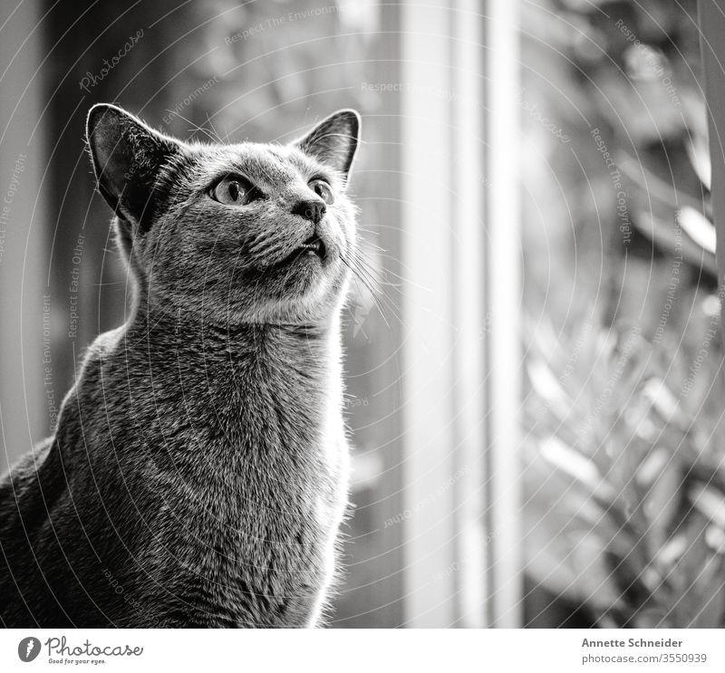 Kater Blick nach vorn Hintergrund neutral Innenaufnahme grau Tier 1 Katze Haustier