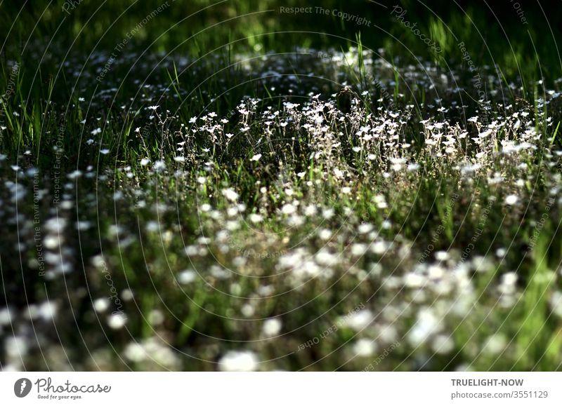 Wie wild wachsen auf einer Wiese kleine weisse Blumen und bilden einen hell leuchtenden Blütenteppich im dunklen Grün der sie umgebenden Sträucher und Bäume…