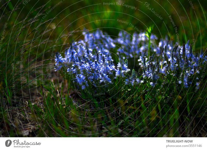 Ehrenpreis? Alleinstehend, wild wachsend auf einer Wiese, drängen sich diese feinen, kleinen Blumen ganz eng zusammen und bilden einen kreisrunden, blau leuchtenden Blütenteppich im Unterholz