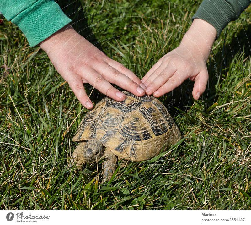 zwei Hände auf einer Schildkröte. Kinder und Haustiere. Freude positiv emotional lustig Mitteilung Tier Junge Lifestyle Kindheit Sommer Halt Hintergrund Panzer